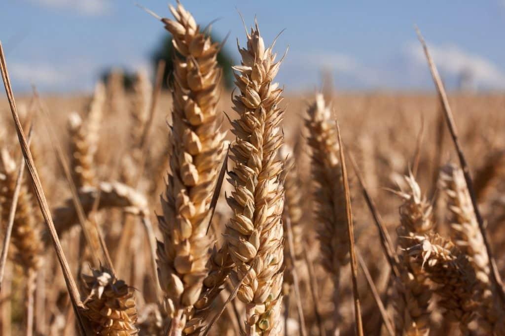 grano-antico-celiachia-cura